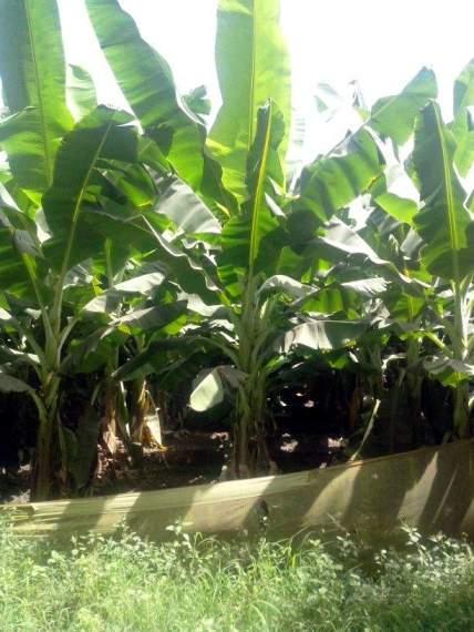 કેળાના છોડ
